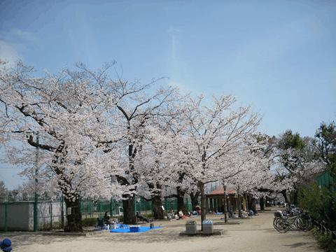 羽根木公園の桜並木